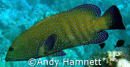 Jewelled  Grouper, taken at Sha ab Hamdallah,Safaga, Egypt. by Andy Hamnett 